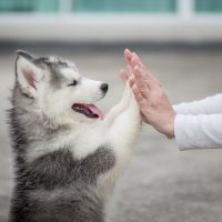 Give me five -Puppy pressing his paw against a Girl hand
